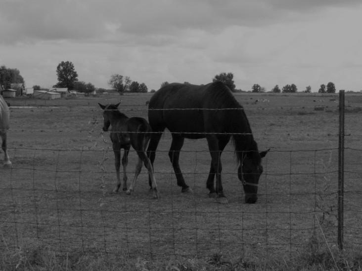 Horses - Denim